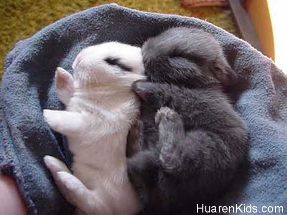 Just-two-baby-bunnies-napping-l.jpg - 超萌的动物睡相,融化你的心! - 华人小孩 - HuarenKids