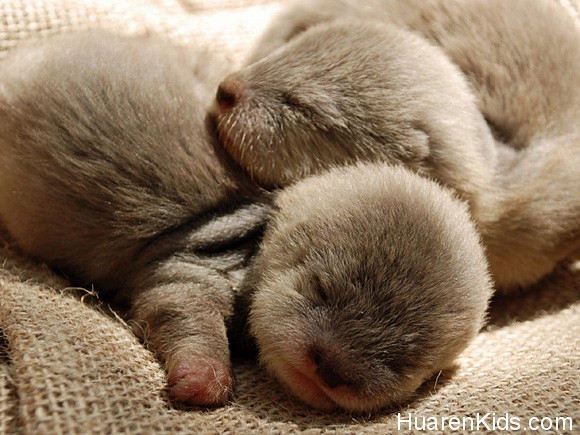 Show-some-love-for-baby-otters-l.jpg - 超萌的动物睡相,融化你的心! - 华人小孩 - HuarenKids